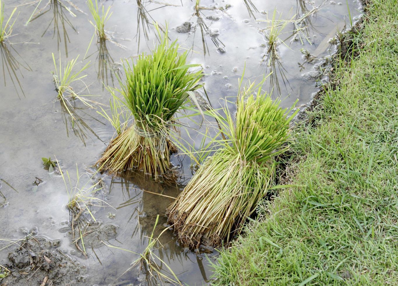piante di riso in acqua foto