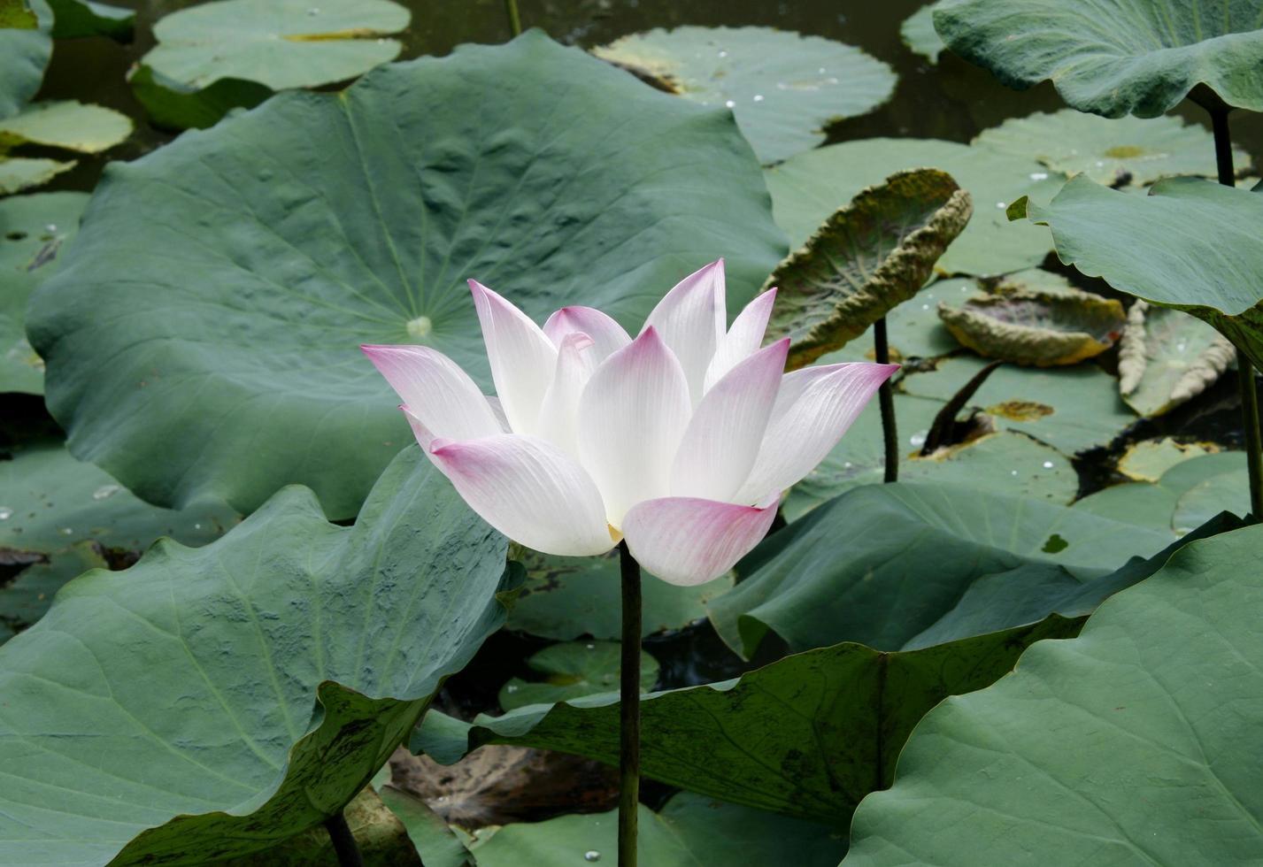 pianta del fiore di loto foto