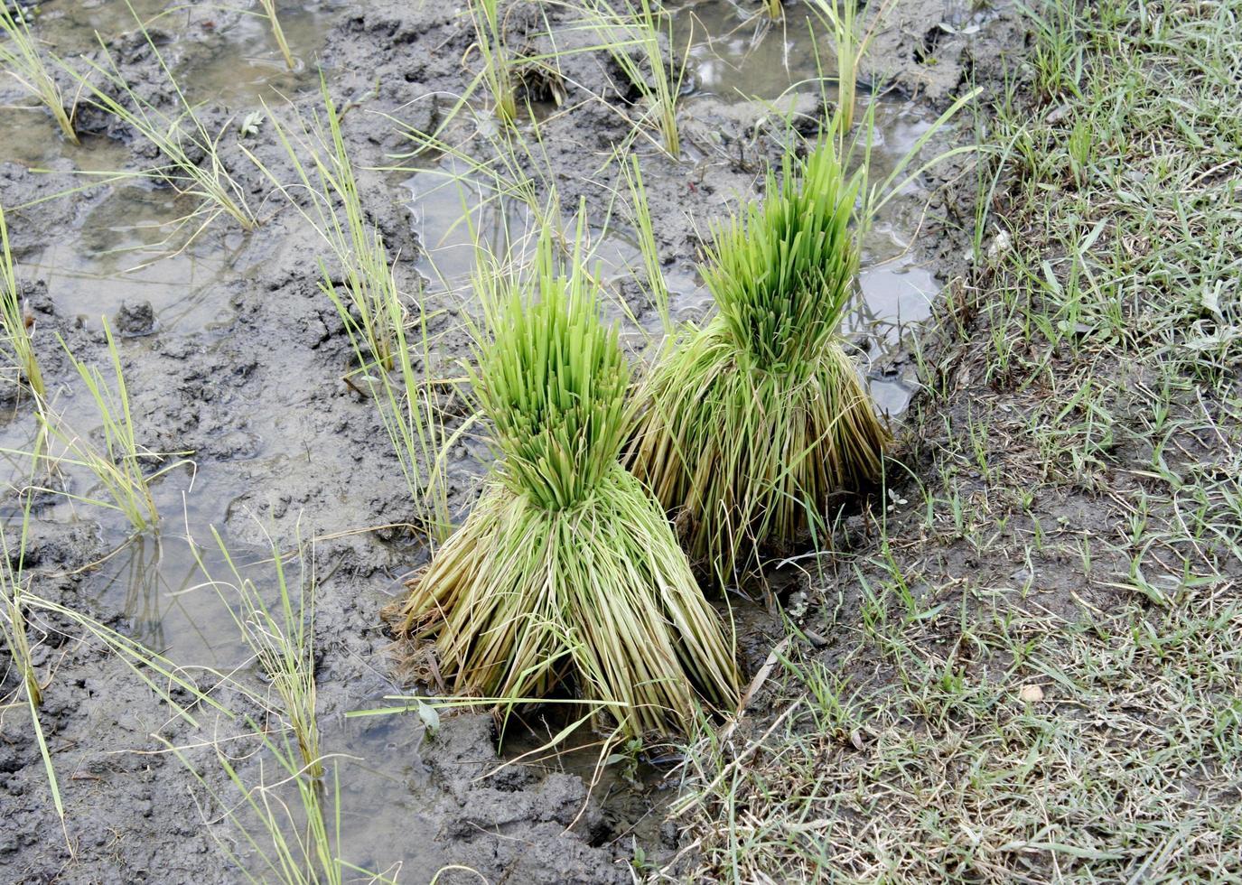 raccolta di piante di riso foto