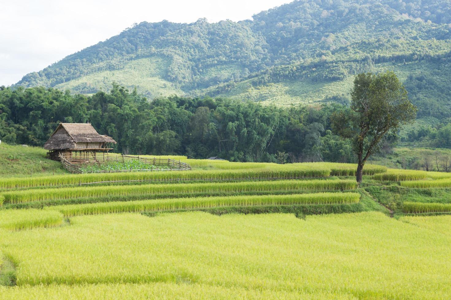 fattoria di riso in thailandia foto