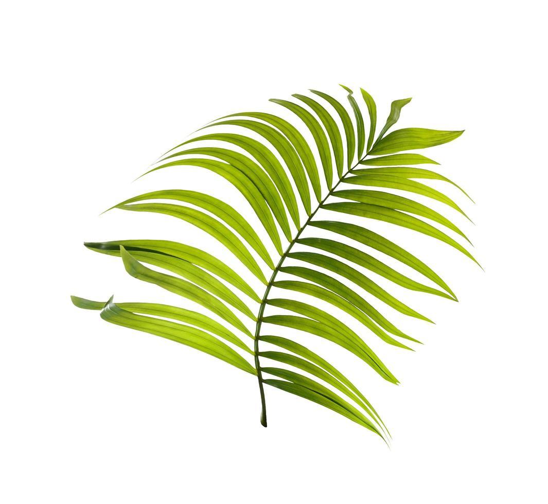 foglia di albero di cocco verde foto