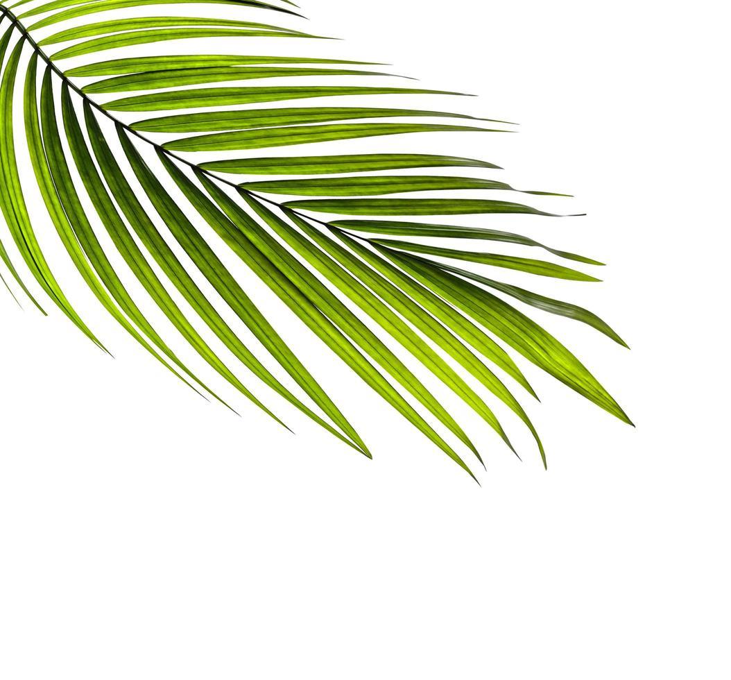 foglia di albero di cocco con copia spazio foto