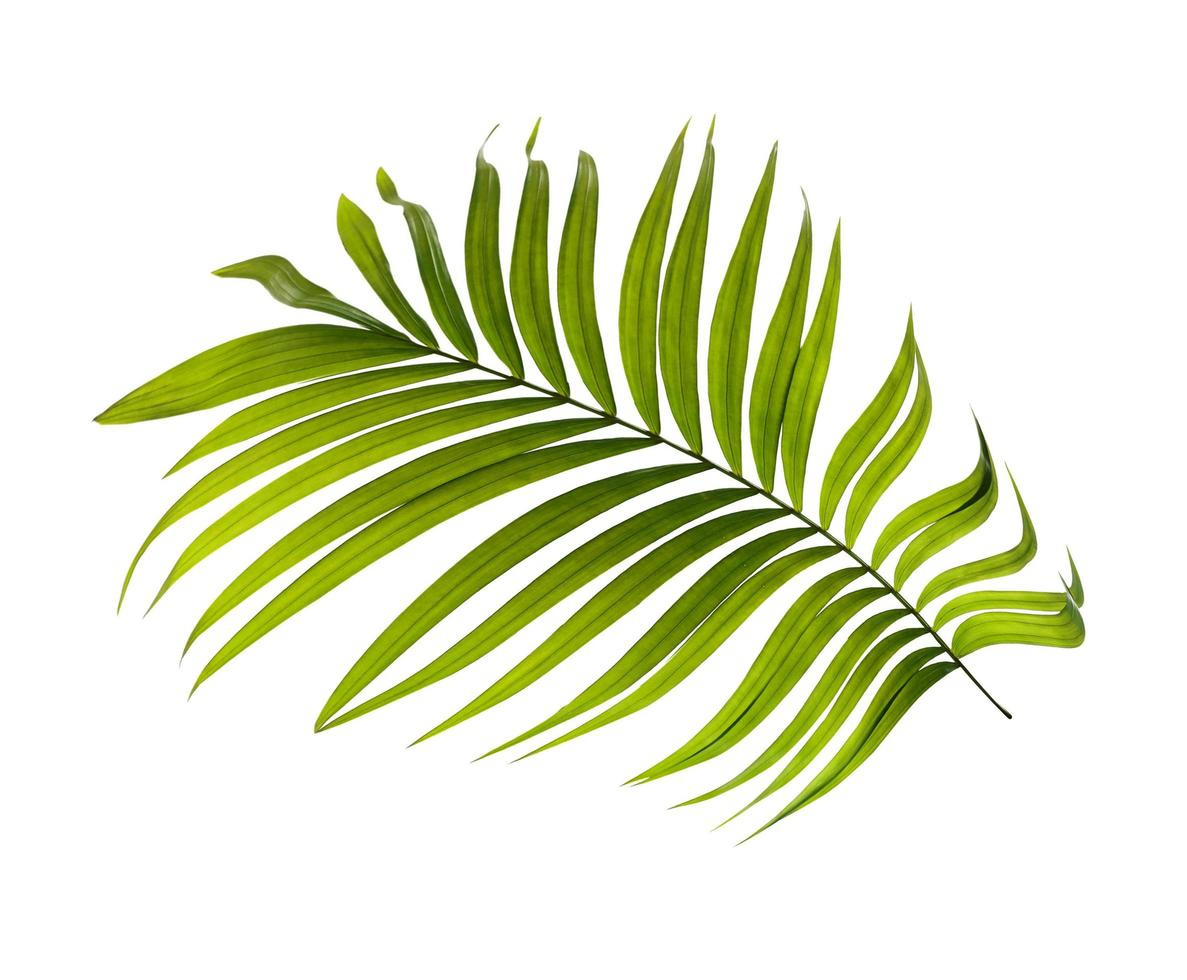 singola foglia di palma verde foto