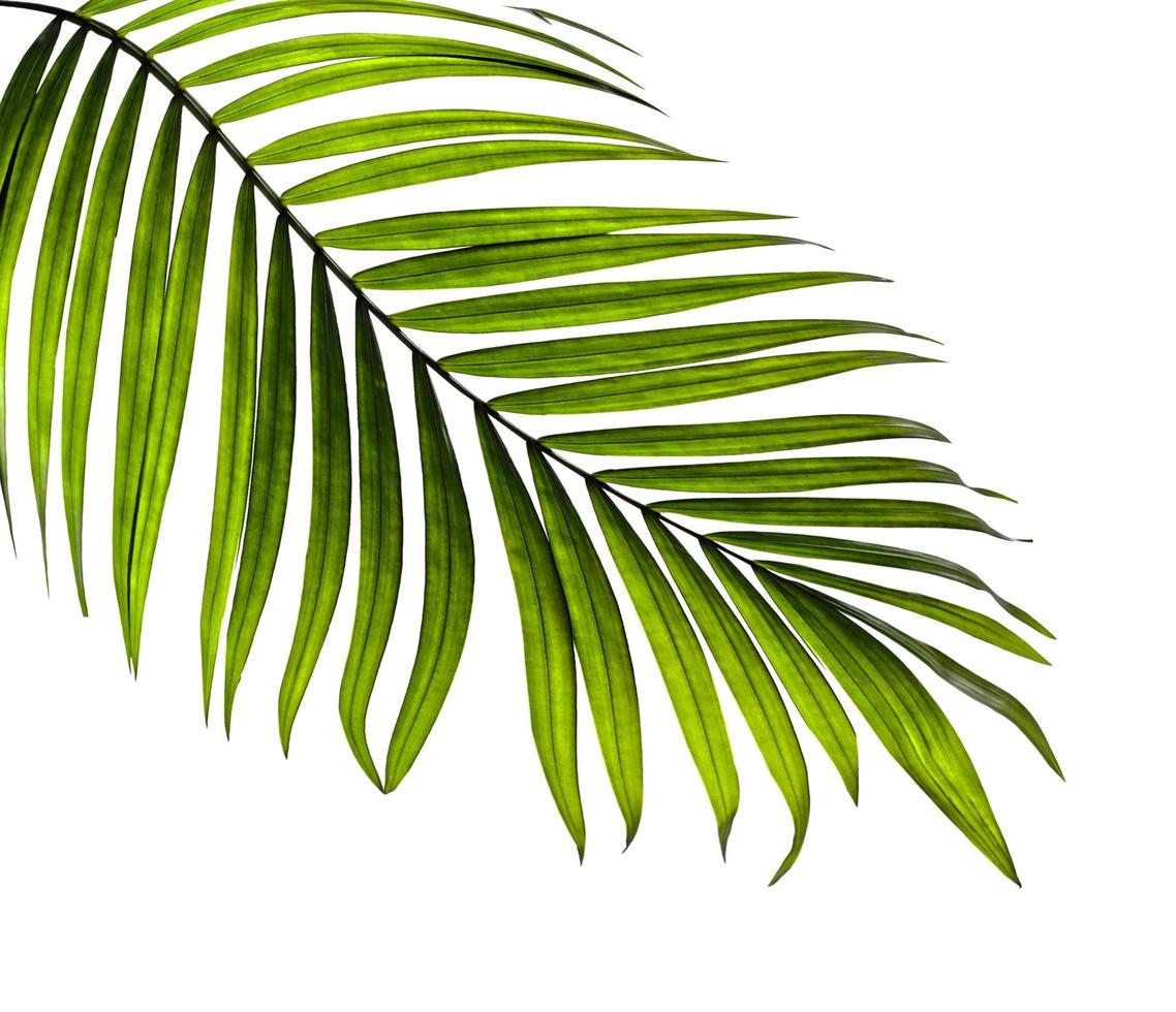 primo piano di una singola foglia di palma foto