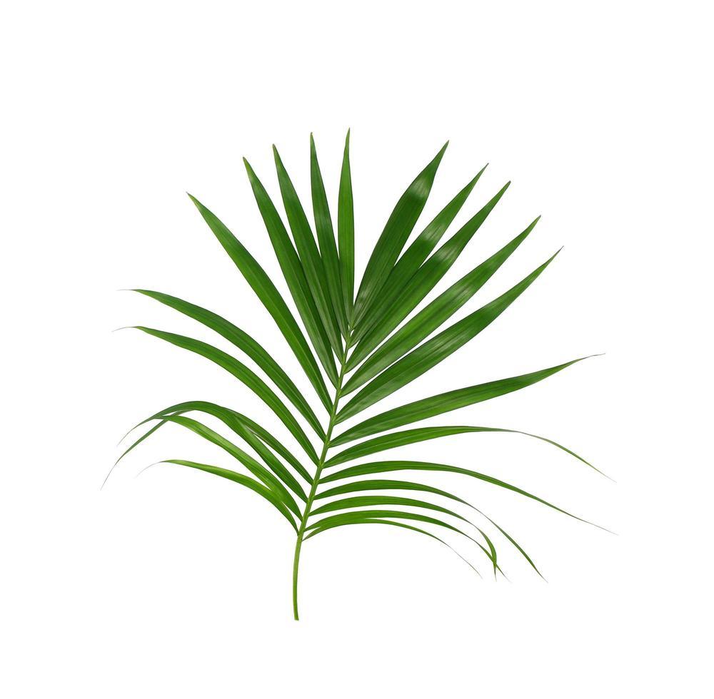 lussureggiante fogliame tropicale su bianco foto
