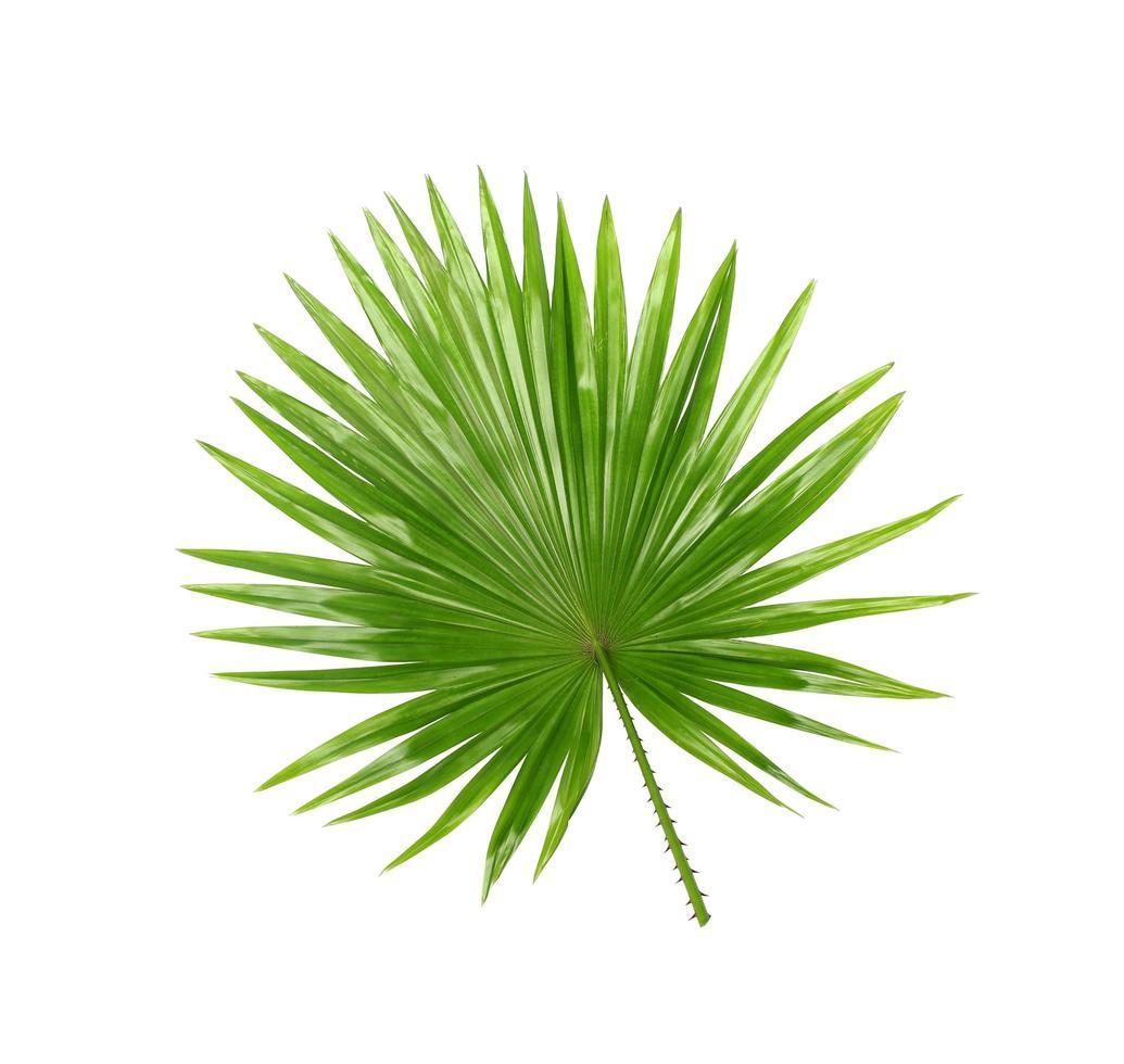foglia verde tropicale isolato su bianco foto