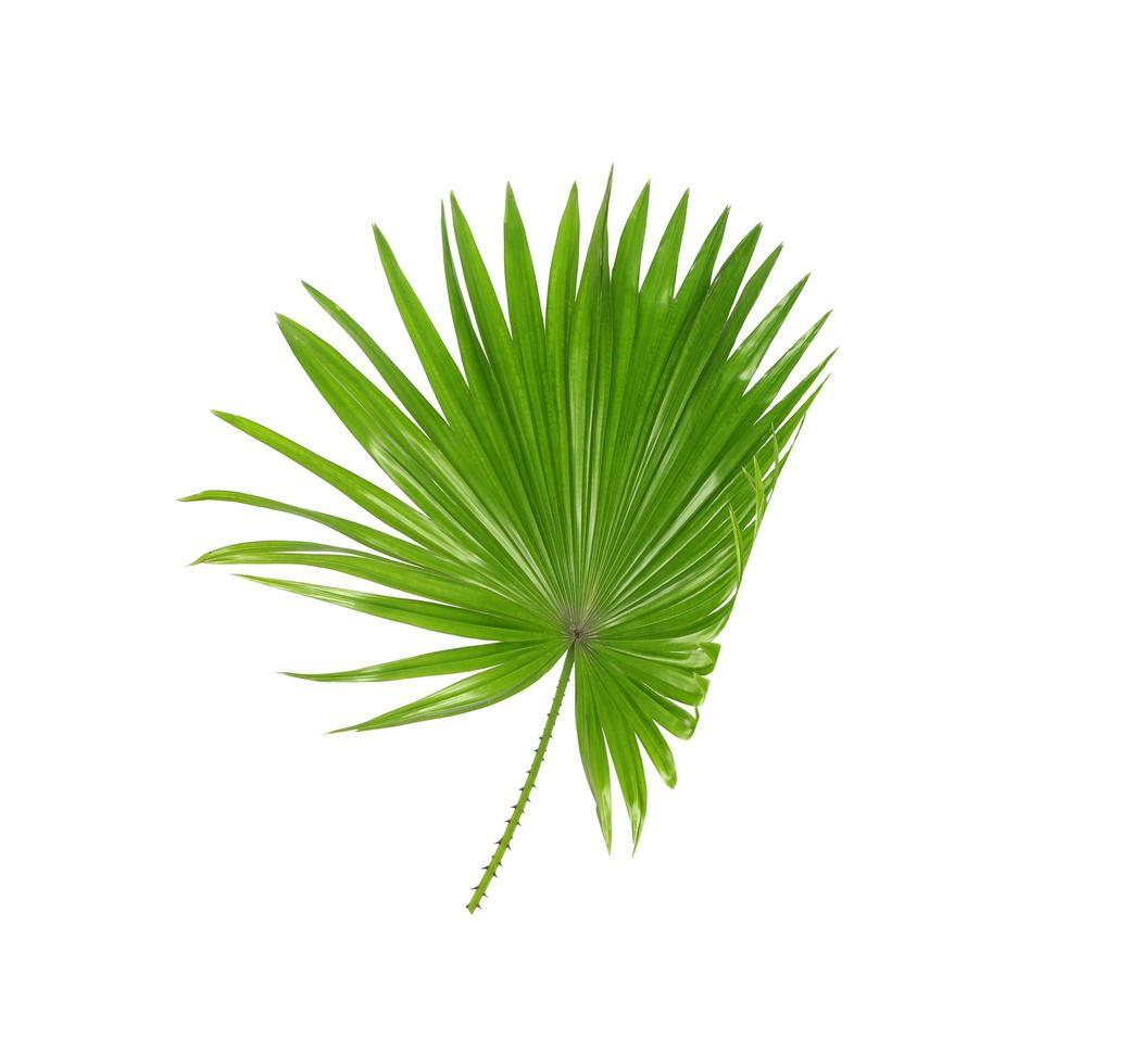 foglia di palma verde tropicale foto