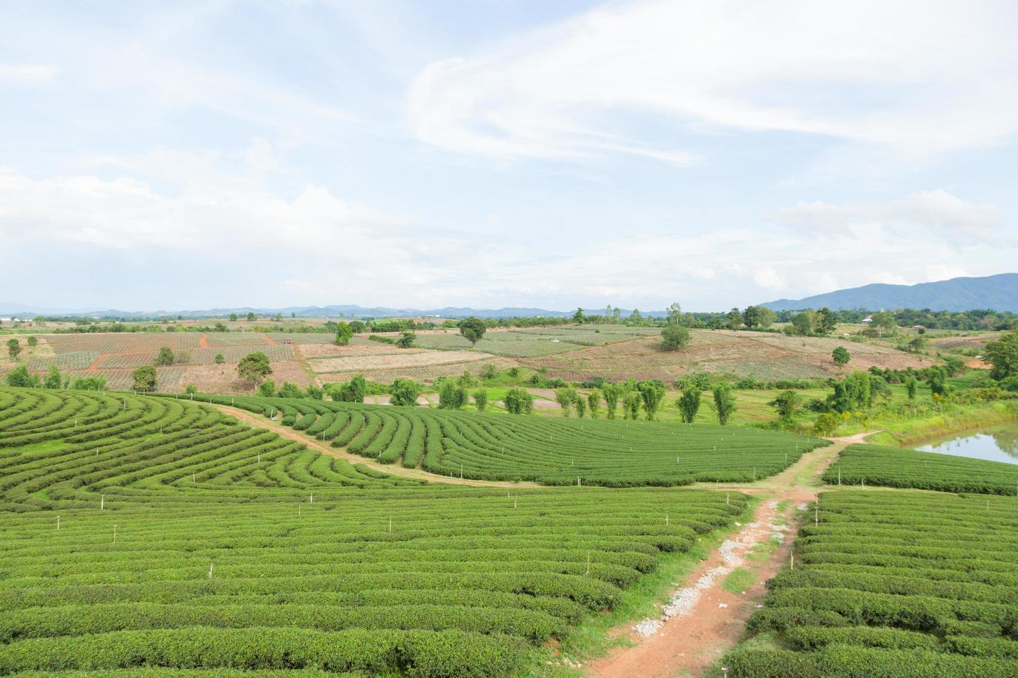 fattoria del tè in thailandia foto