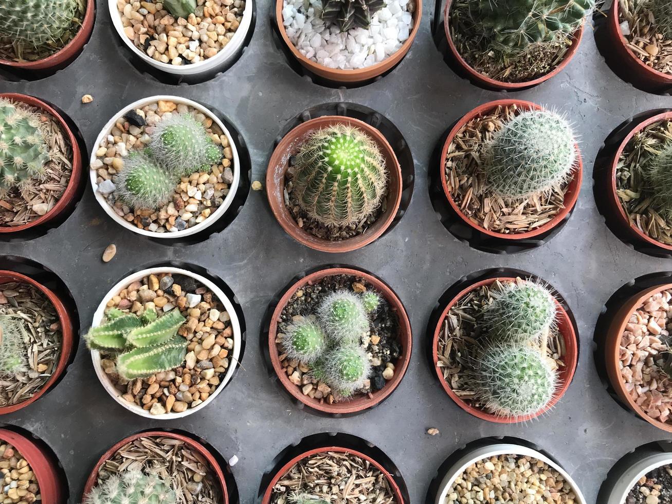 vista dall'alto di piante di cactus in vaso foto