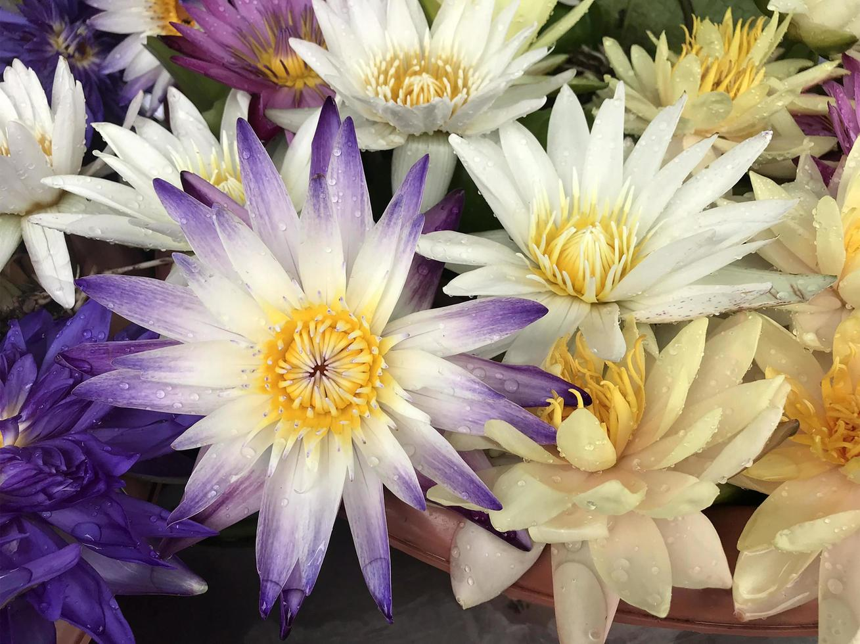 primo piano di fiori di loto foto