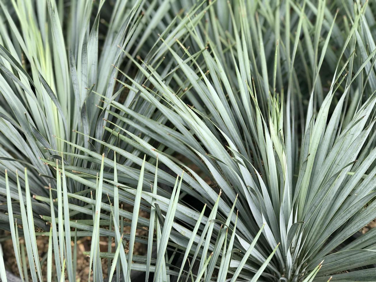 foglie taglienti di una palma foto