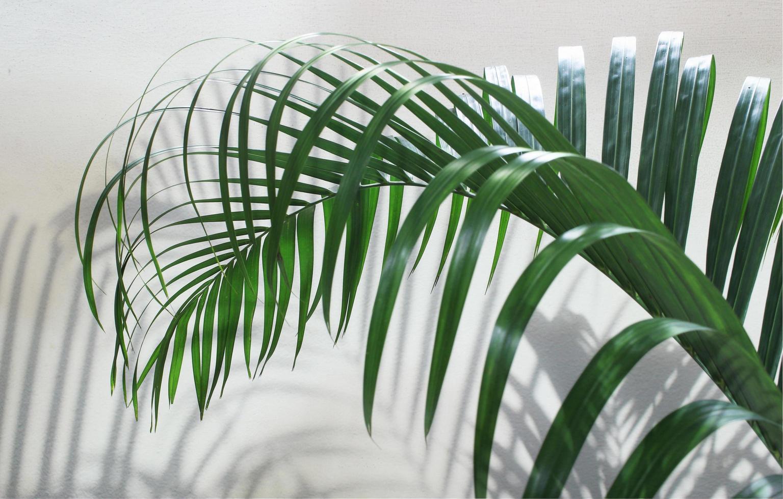 foglia di palma verde con ombra sul cemento foto