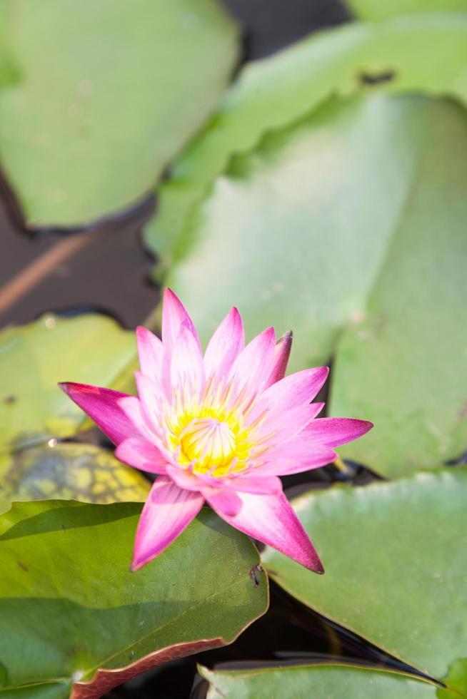 fiore di loto nello stagno foto