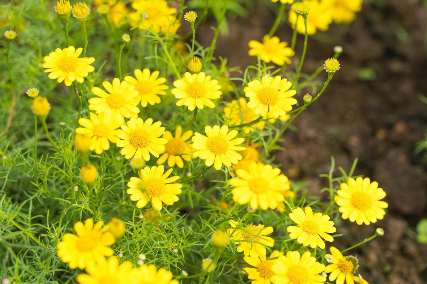 fiori margherita gialla nel parco foto