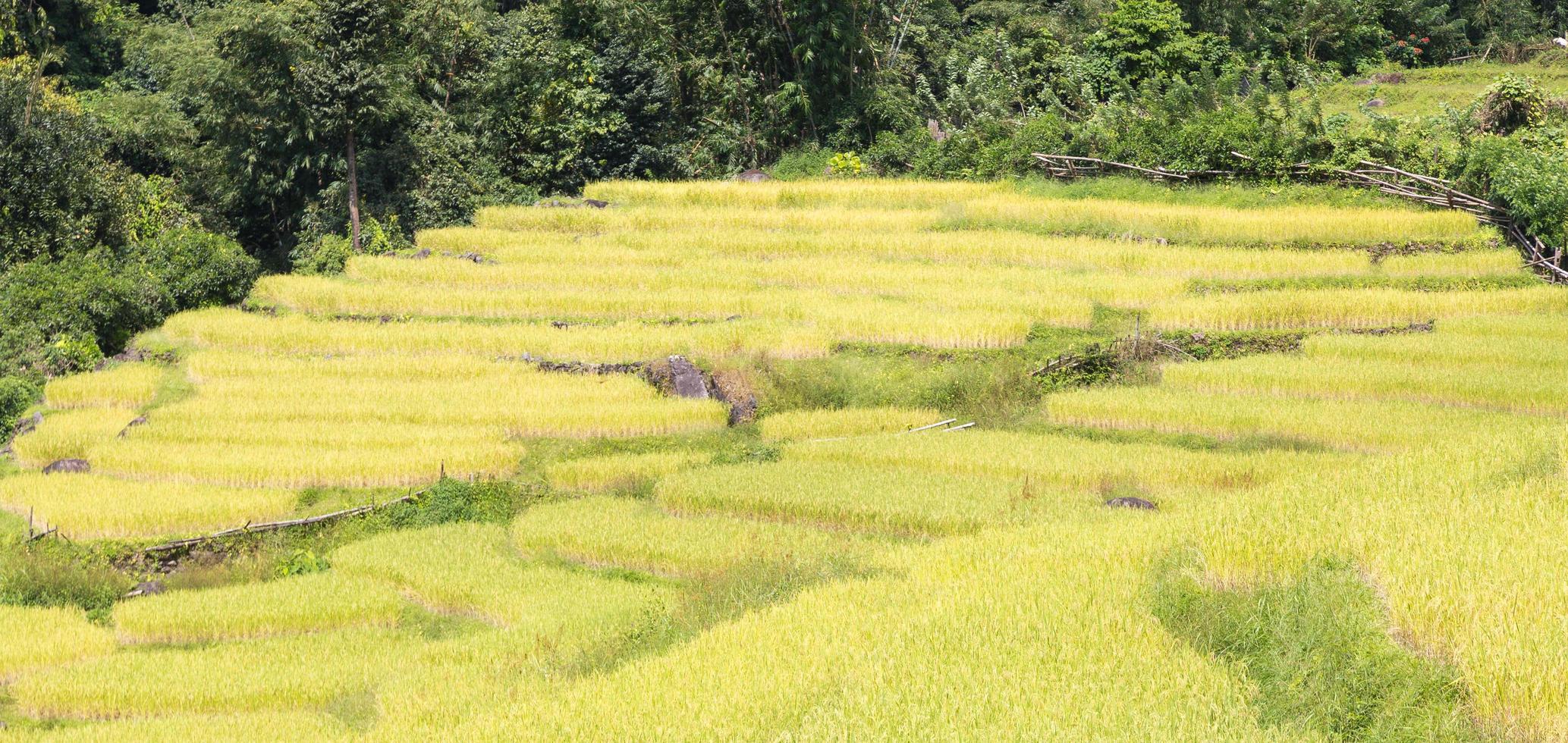 fattoria di riso sulla montagna in thailandia foto