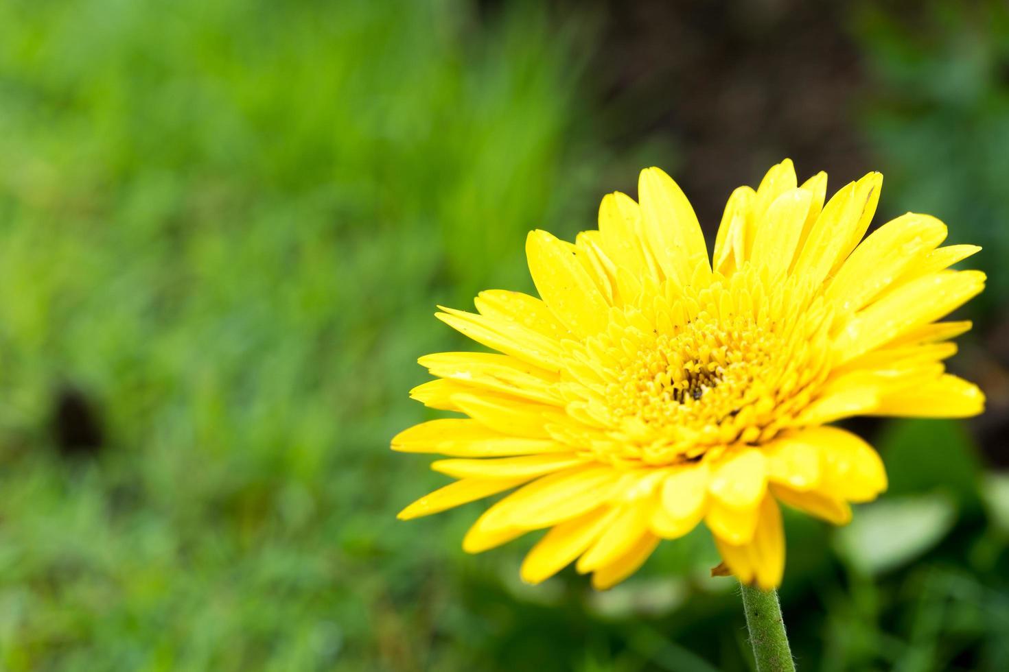 fiore margherita gialla nel parco foto