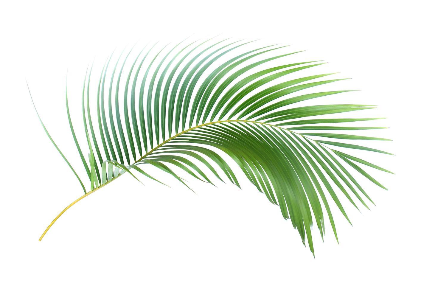 foglia di palma tropicale foto