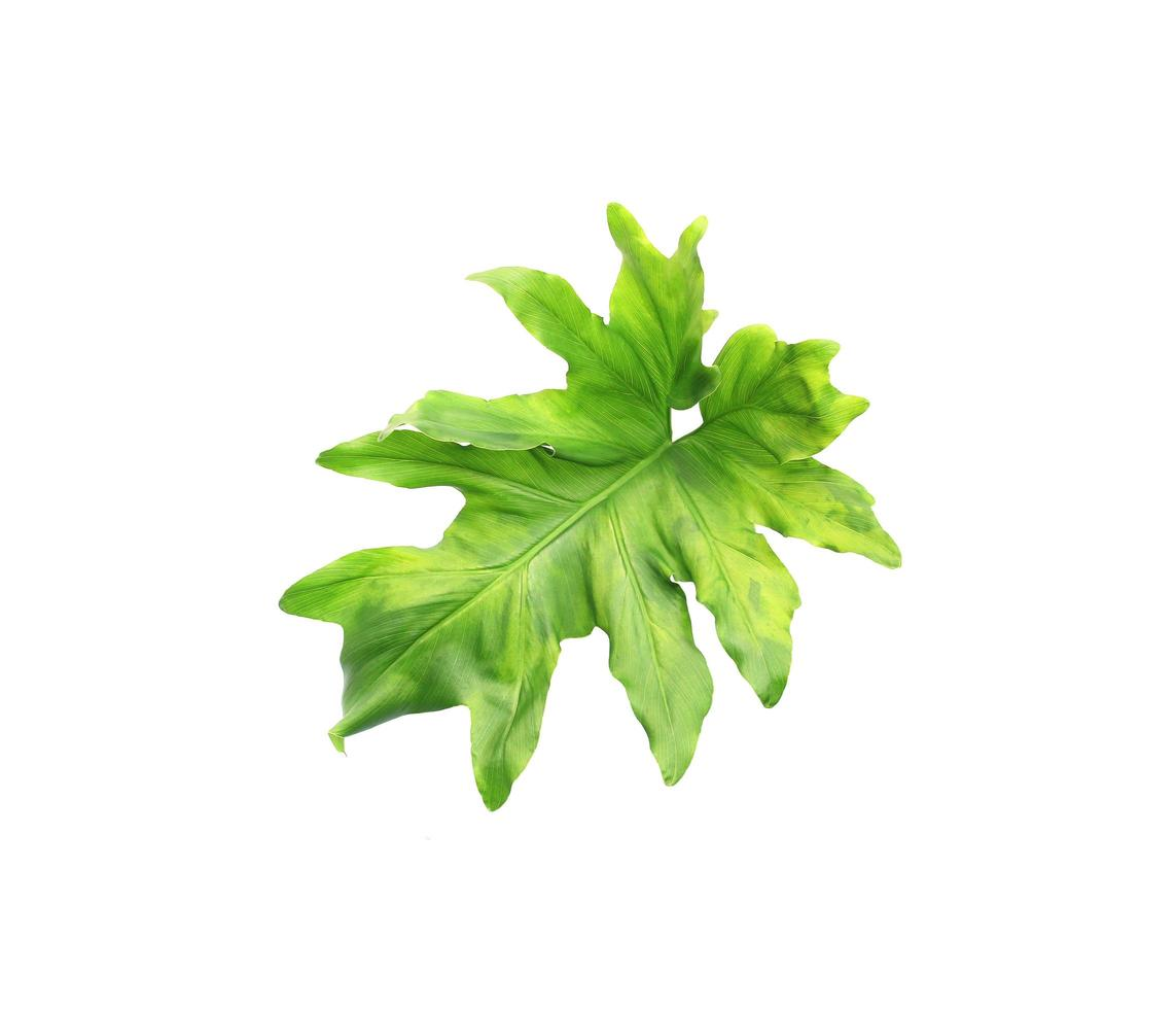 foglia di monstera verde foto