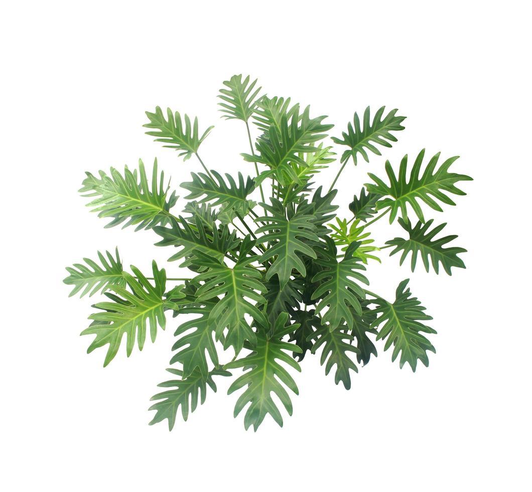 pianta di philodendron xanadu foto