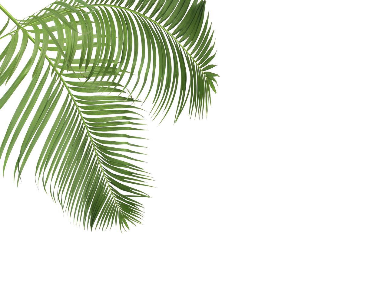 due foglie di palma con copia spazio foto