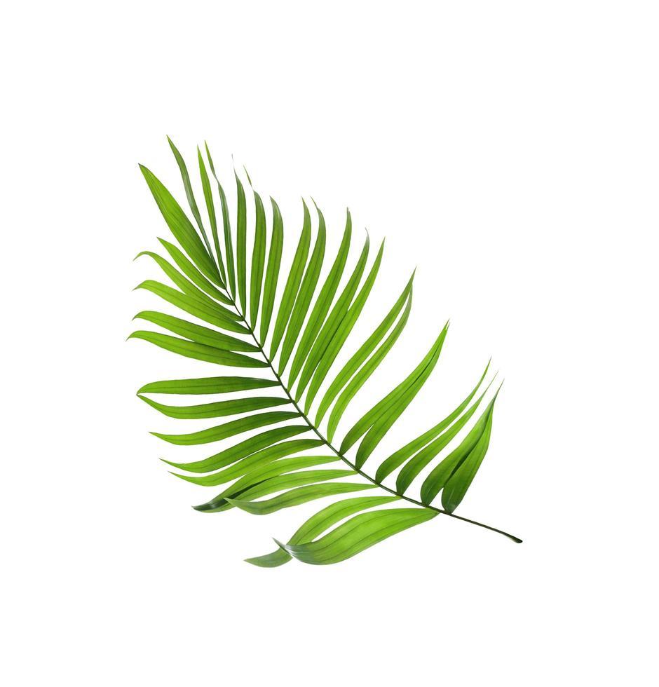 foglia di cocco verde foto