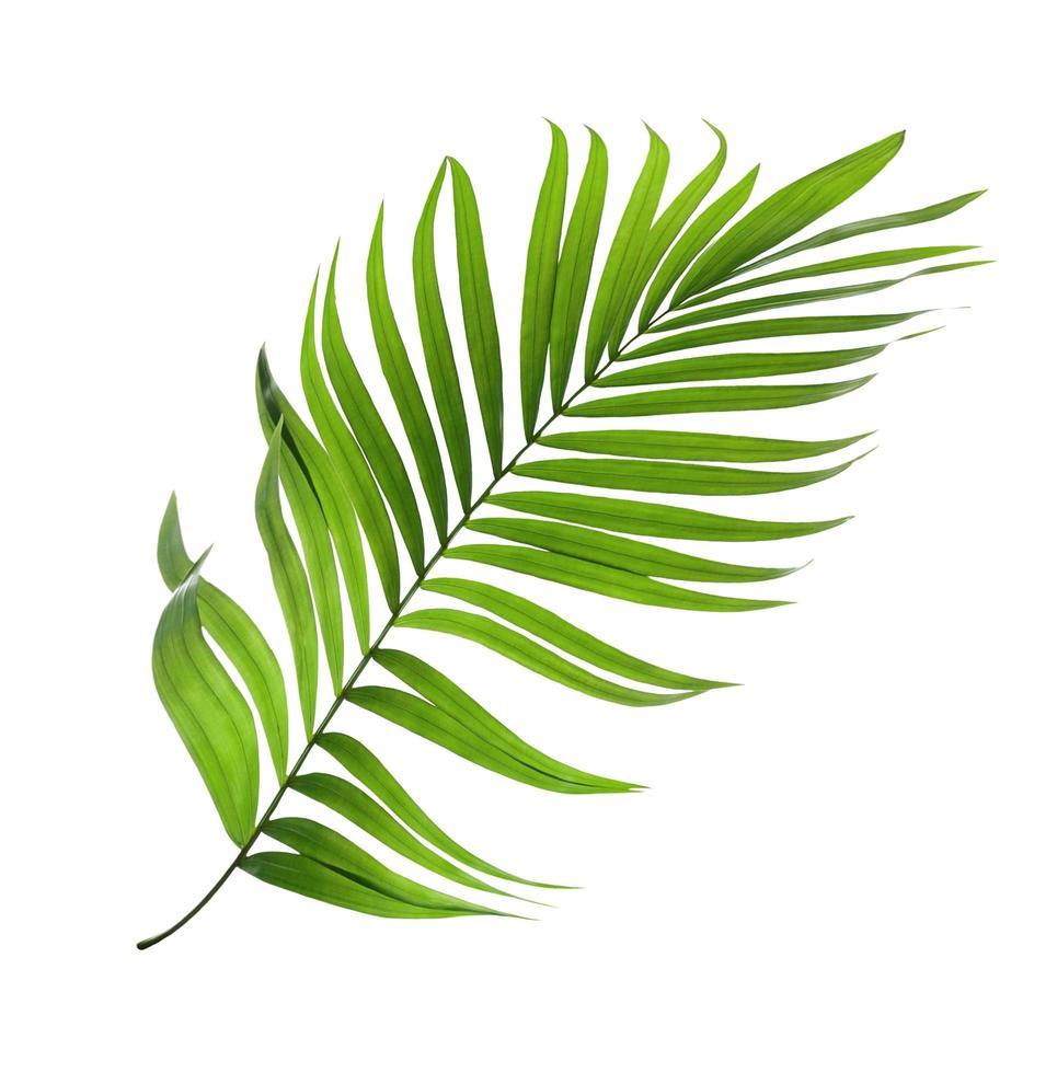 foglia di cocco verde su sfondo bianco foto