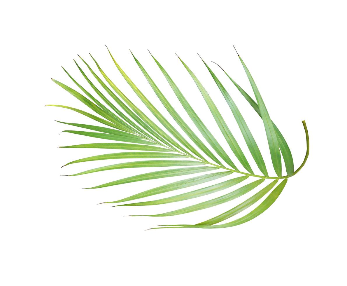 lussureggiante foglia di palma verde brillante foto