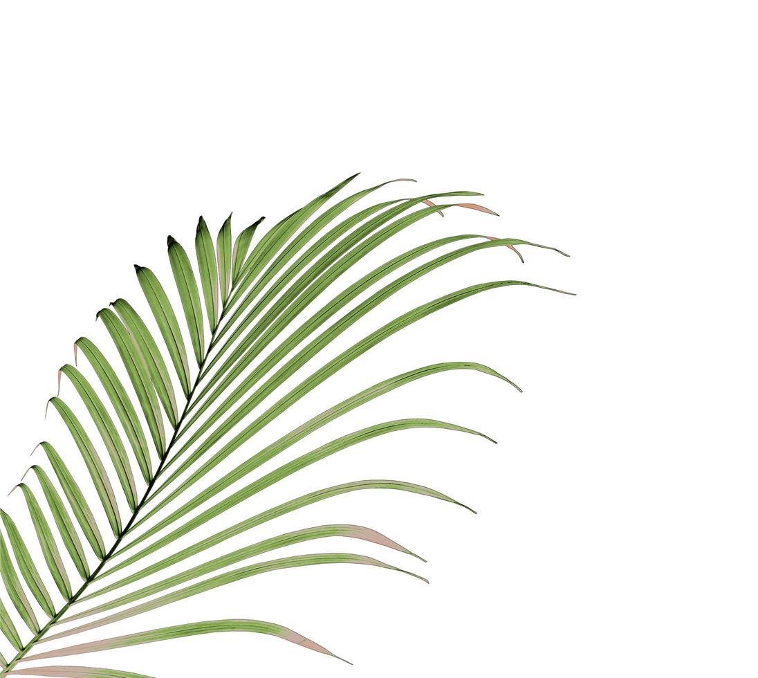 lussureggiante foglia di palma verde su bianco foto