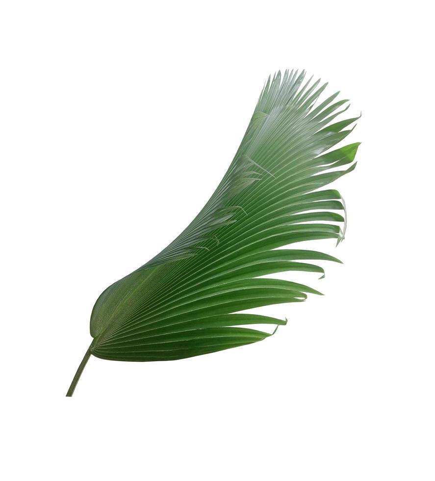 foglia di ventaglio verde intenso su bianco foto