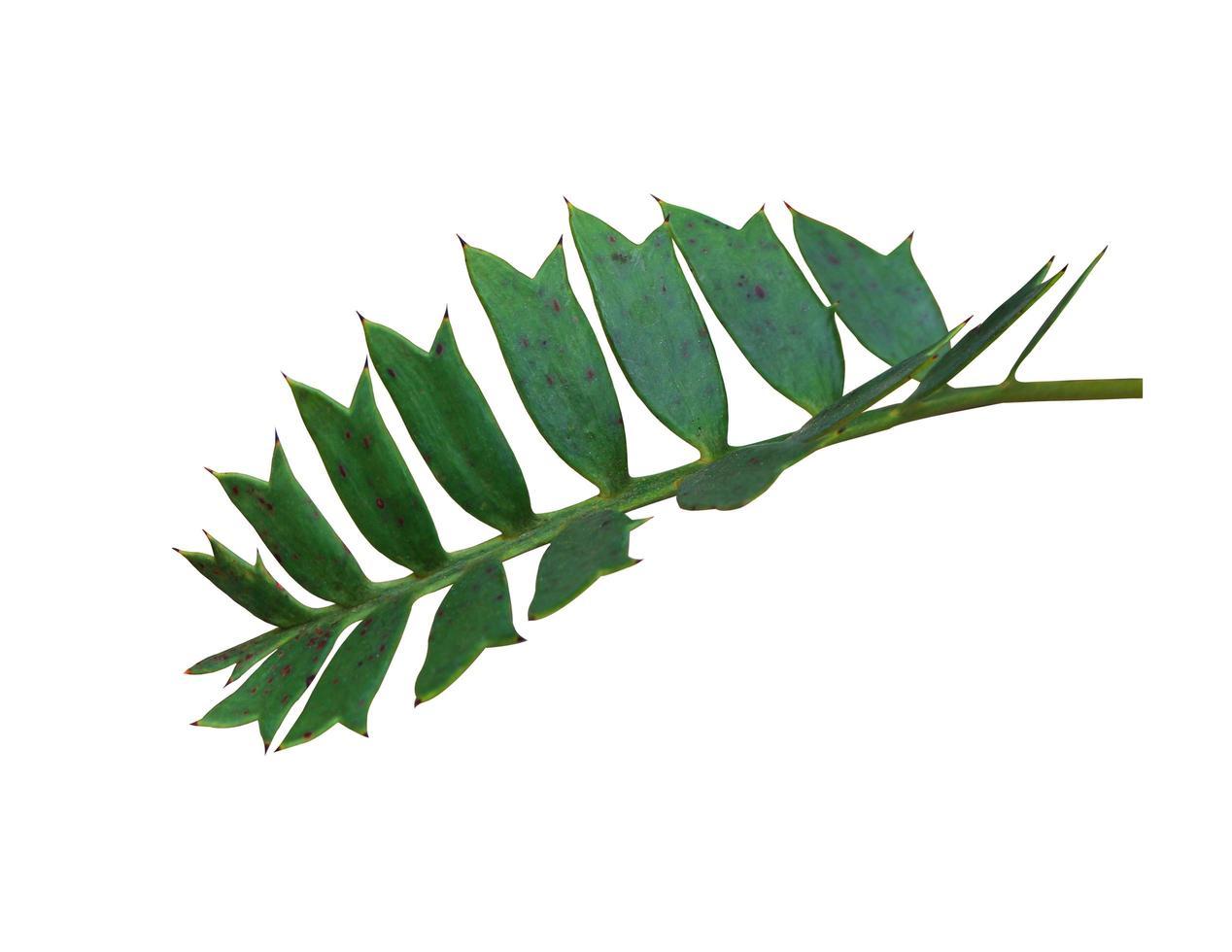 foglie appuntite verdi su bianco foto