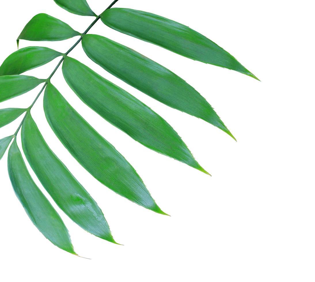 primo piano di foglie verdi su sfondo bianco foto