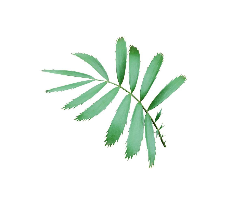 foglie verdi succulente foto