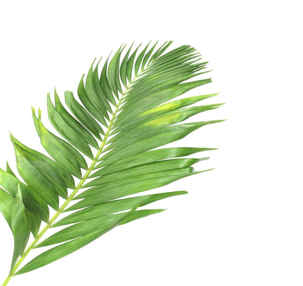 grande foglia di palma tropicale foto