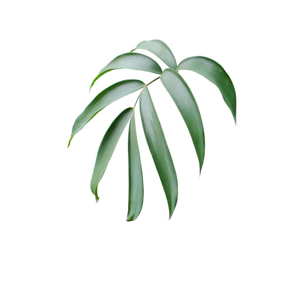 foglie tropicali verdi isolate foto