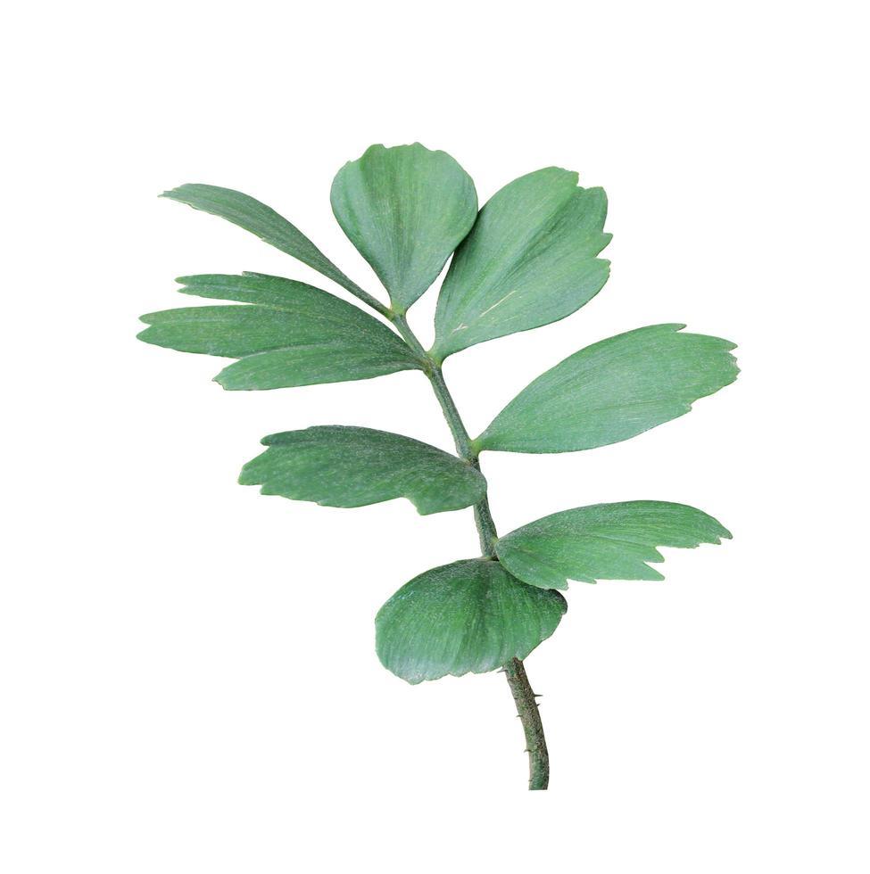 foglie verdi su un ramo su bianco foto