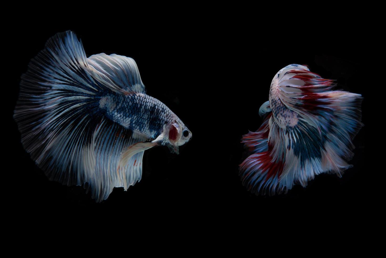 bellissimo pesce betta siamese colorato foto