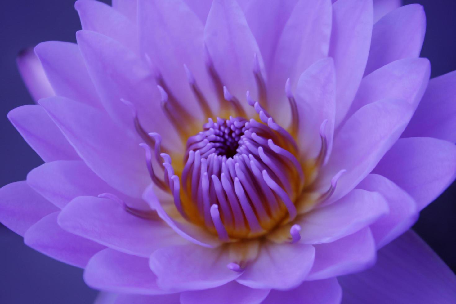 primo piano di un fiore di loto viola foto