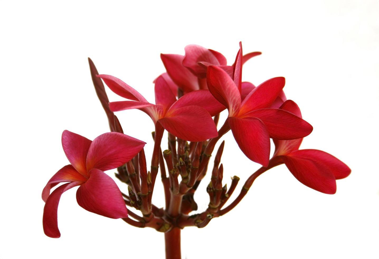 fiori di frangipani rossi foto