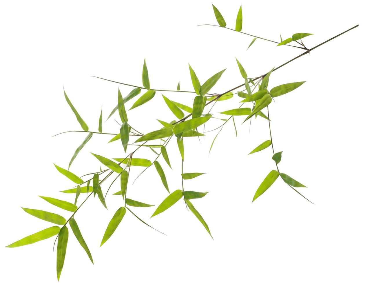 foglie di bambù verde isolato su sfondo bianco foto