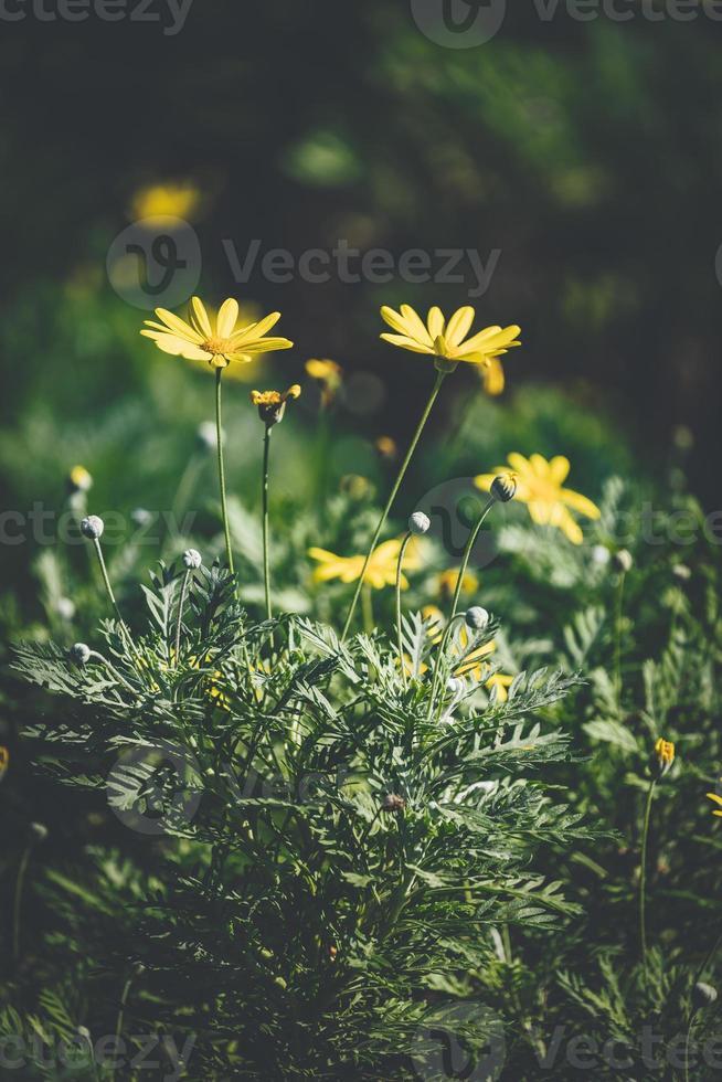 fiori e boccioli di margherita gialla foto