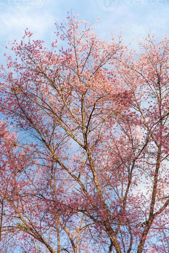albero rosa e cielo blu foto