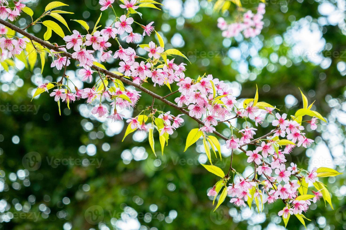 fiori di ciliegio contro foglie verdi foto