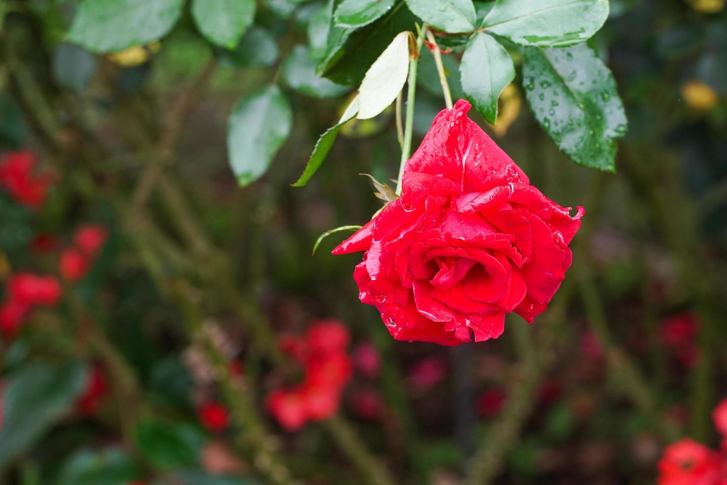 rosa in fiore nel giardino foto