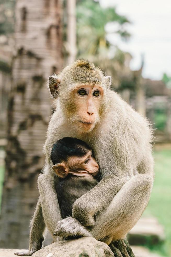 scimmie ad angkor wat in cambogia foto