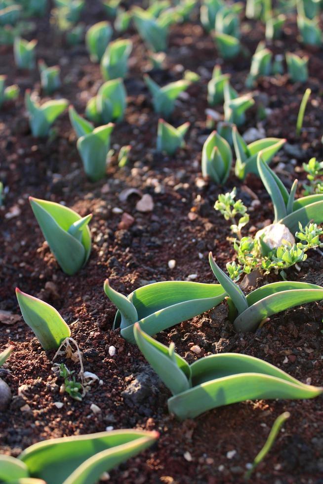 macro close up di germogli di piante verdi e piantine nel suolo foto