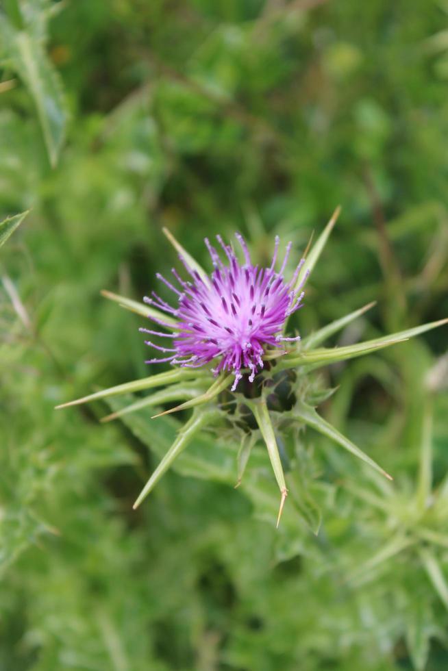 macro ravvicinata di un cardo selvatico viola nel suo ambiente naturale foto