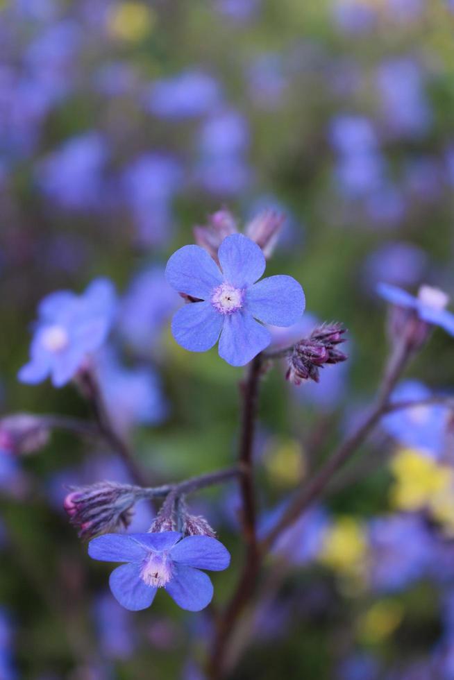 macro Close up di un blu italiano alkanet in fiore durante la primavera foto