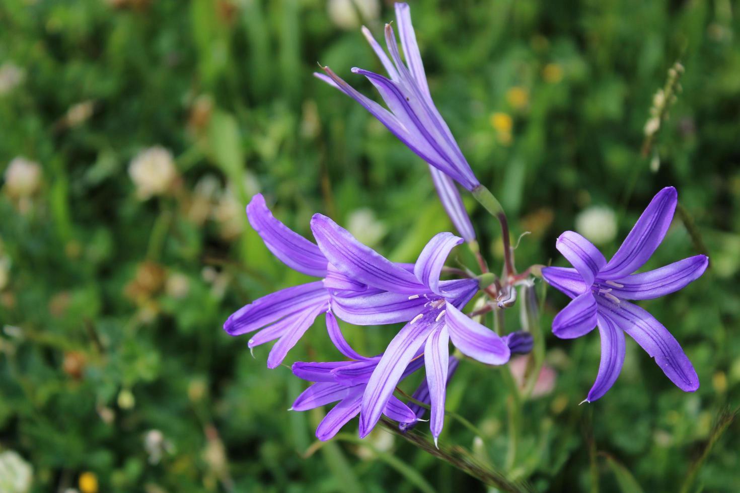 macro close up di fiori di giglio siberiano viola in primavera foto