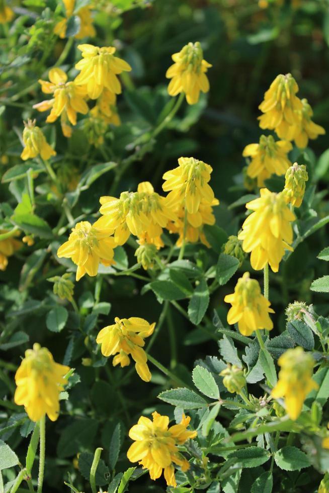 macro close up di sottile trifoglio o trifolium micranthum con fiori gialli foto
