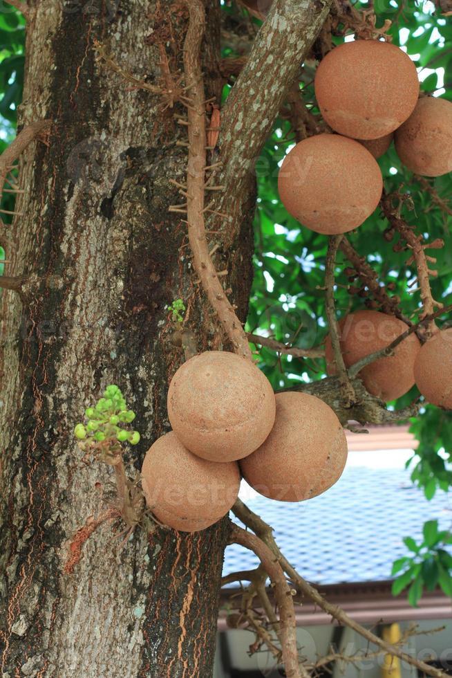 albero palla di cannone o sal dell'India foto